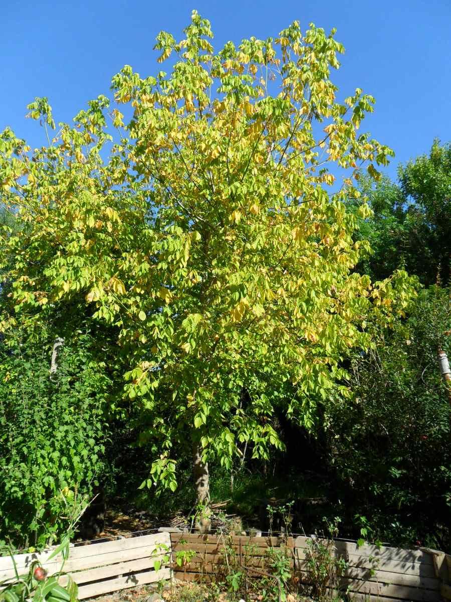 Arce rbol follaje oto al dorado crece r pido ideal - Arce arbol variedades ...