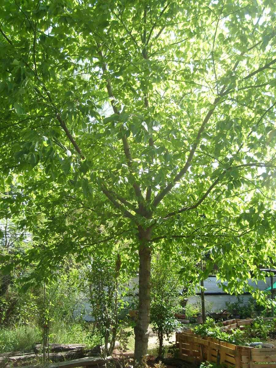 Arce rbol follaje oto al dorado crece r pido ideal for Arboles de hoja perenne que crece rapido