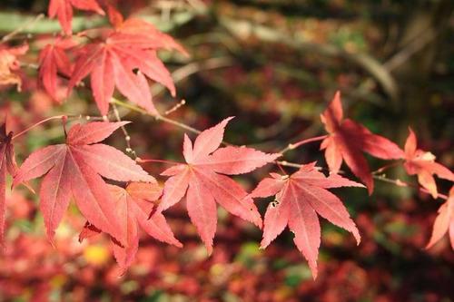 arce japones palmatum 10 semillas bonsai - ornamental