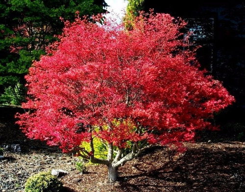 arce japones palmeado 10 semillas bonsai - ornamental