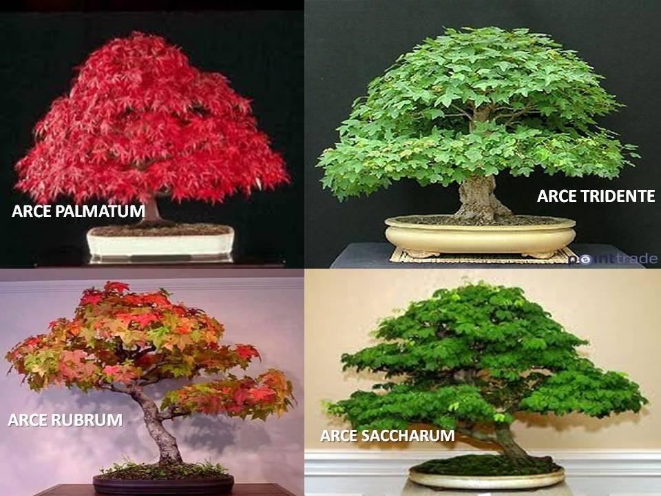 Arces rojos rubrum saccharum palmatum tridente 60 - Arce arbol variedades ...
