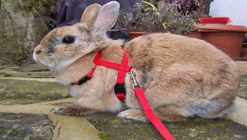 arnés correa para gato perro uron conejo mascota