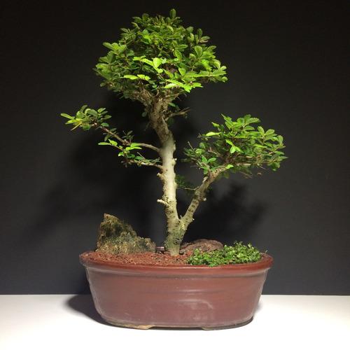 arteenbonsai olmo chino manzano olivo juniperus cotoneaster