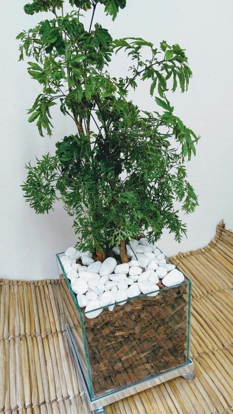 Arvore Da Felicidade Natural Decora Casa Vaso De Vidro - R