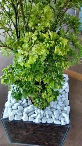 Arvore da felicidade no vaso completo com rodinhas r 320 60 em mercado livre - Alegria planta cuidados ...