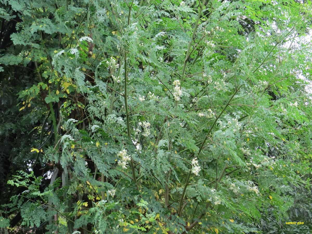 Árvore Moringa Oleífera 50 Sementes R$ 12 00 em Mercado Livre #609338 1200 900