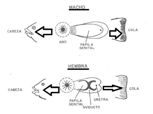 asesoría y capacitación en  cría cultivo de tilapia