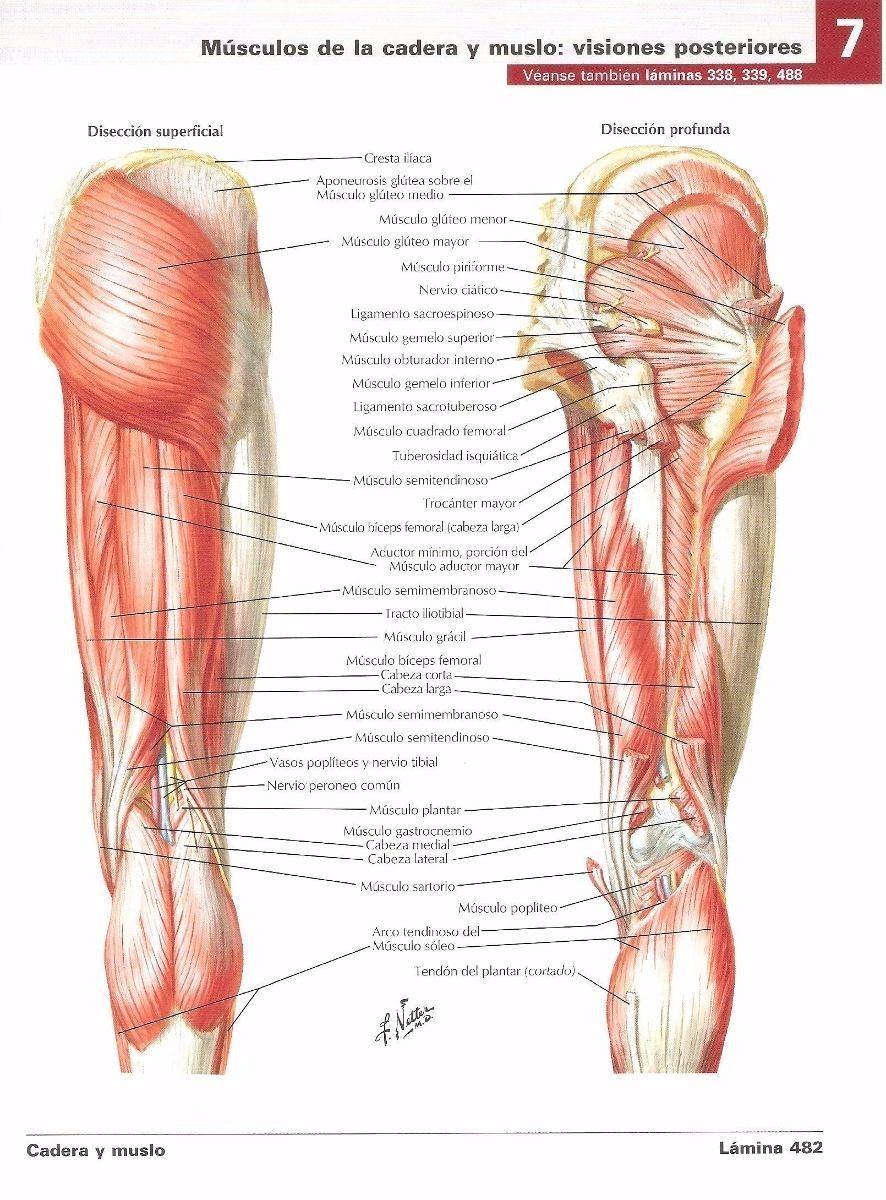 Magnífico Etiquetado Músculo Anatomía Motivo - Anatomía de Las ...