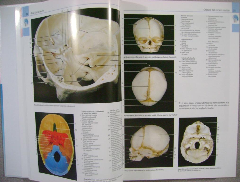 Perfecto Atlas De Anatomía Rohen Componente - Anatomía de Las ...