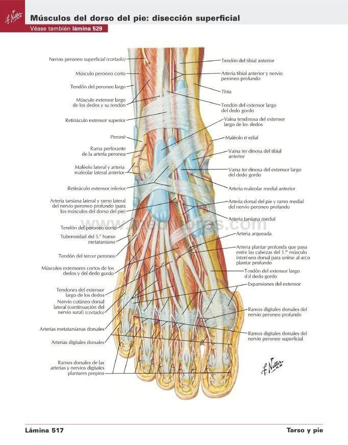 Fantástico Anatomía Dedo Humano Foto - Anatomía de Las Imágenesdel ...