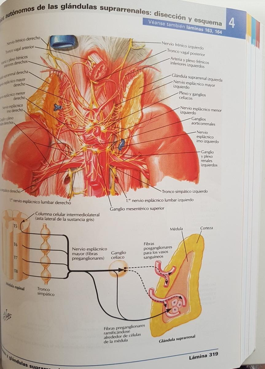 Encantador Atlas De Anatomía Grises Colección - Anatomía de Las ...