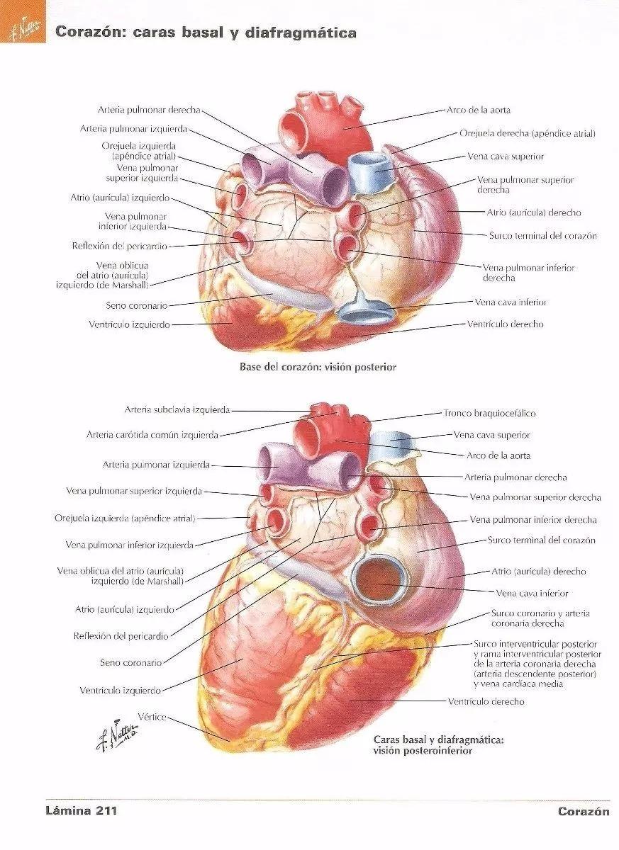 Atlas De Anatomia Humana Netter 6ta Edicion - $ 5.990 en Mercado Libre