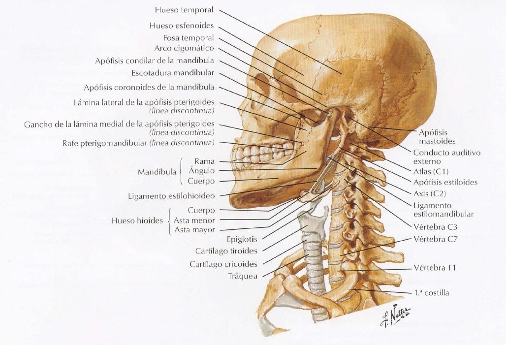 Atlas De Anatomía Humana Netter - S/ 60,00 en Mercado Libre