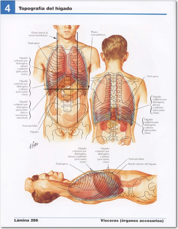 Lujo Hígado Sonoanatomía Composición - Anatomía de Las Imágenesdel ...
