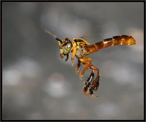 atrativo feromônio forte para capturar abelha jatai 100ml.