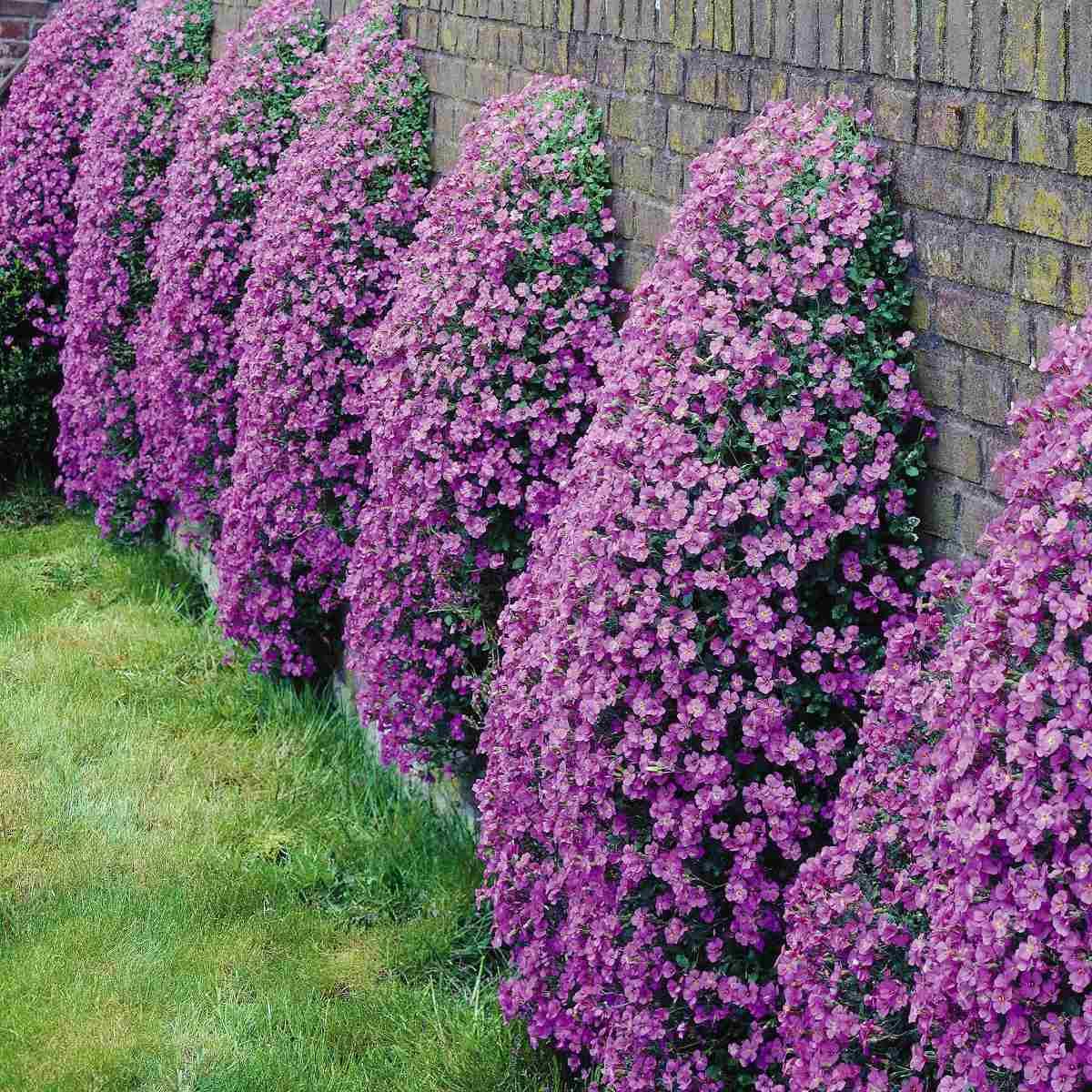 Aubrietia sortida sementes flor para mudas r 9 99 em for Bakker piante perenni