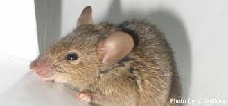 aullentador de roedores