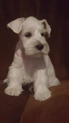 auténticos cachorritos schnauzer blancos toy enanos