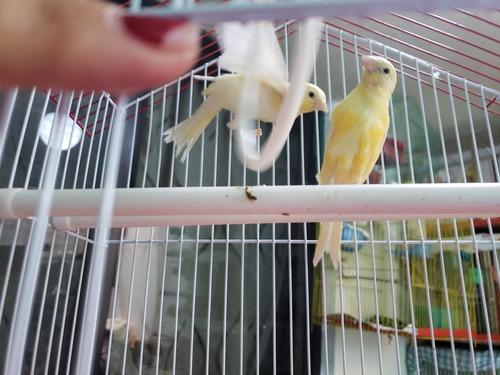 aves canarios