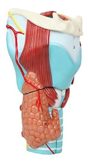 Axis Scientific Anatomy Model of Human Larynx Details Anatomy of Vocal Folds and Dissects Into 5 Parts Model is 9 Inches Tall and 5 Times Life Size Comes with a Study Manual and 3 Year Warranty A-105302