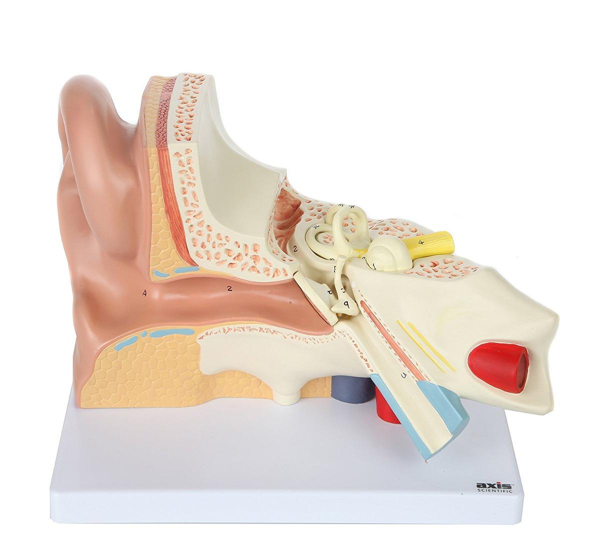 Axis Scientific Oído Humano Anatomía Modelo Con 3 piezas - $ 474.000 ...