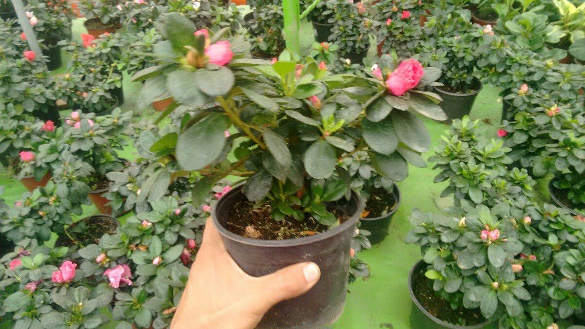 Azalea enana doble planta en mercado libre - Azalea cuidados planta ...