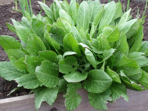 azedinha planta revesterol rumex ervas sementes para mudas