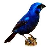 azulão treine seu pássaro de maneira profissional 150 cantos