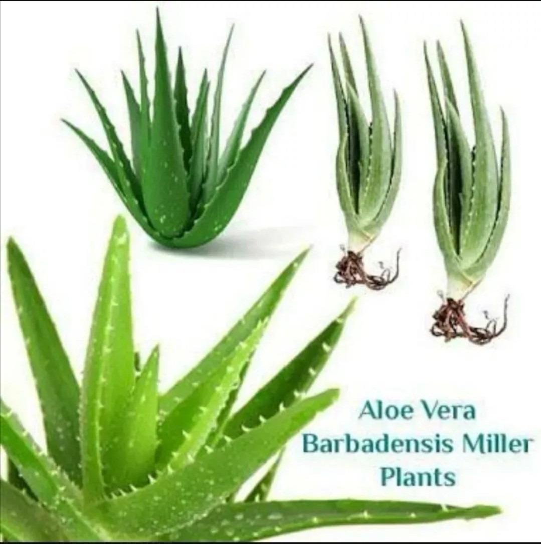 babosa barbadensis miller folhas 2 kg r 18 90 em. Black Bedroom Furniture Sets. Home Design Ideas