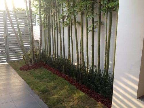 bambu africano o tarro (bambusa oldhamii)