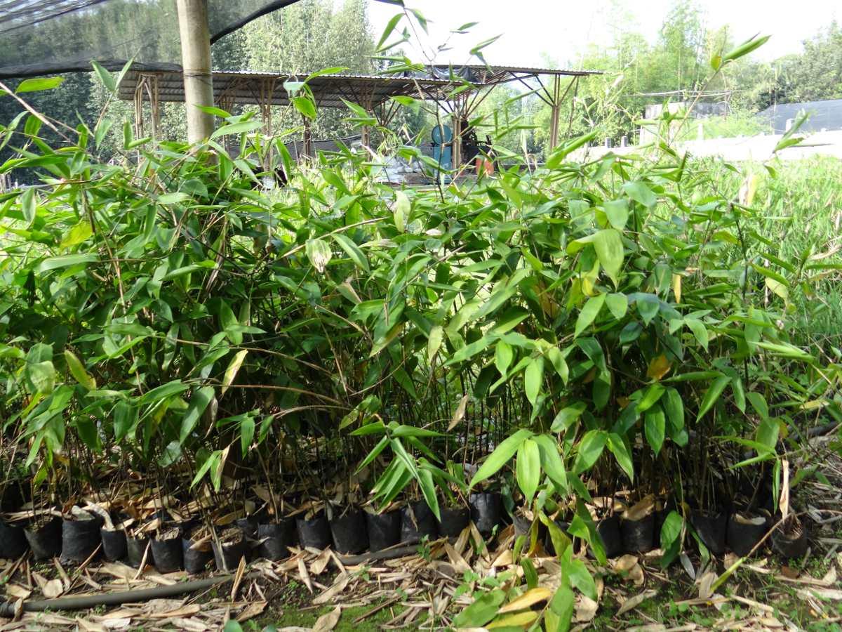 Bambu carrizo guaduas y otate plantas para siembra - Bambu planta exterior ...