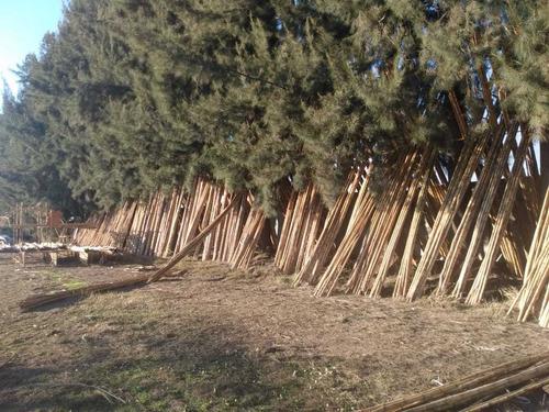bambú colihue nativo