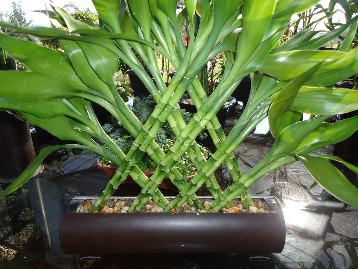 Bambu da sorte arranjo sem vaso r 45 00 em mercado livre - Bambu in vaso da esterno ...
