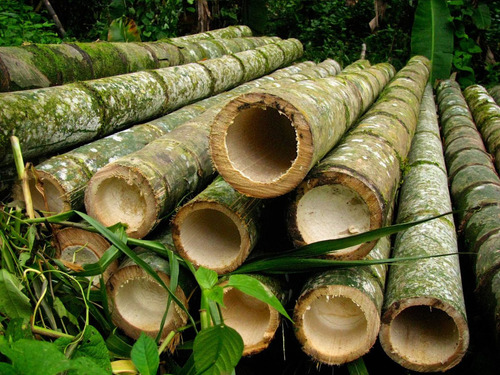 bambu gigante mosso moso phyllostachys pubescens sementes