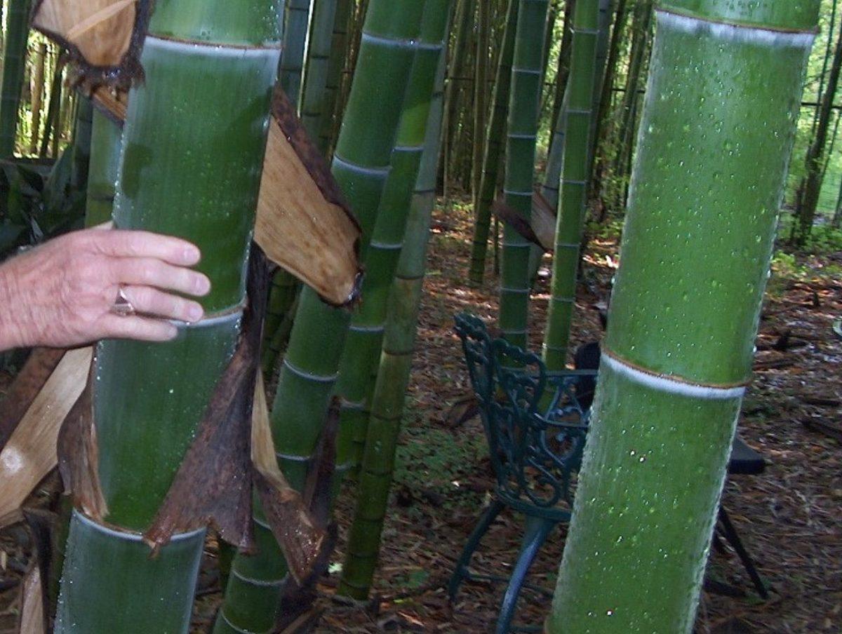 Bambu gigante mosso phyllostachys pubescens sementes for Semi bambu gigante