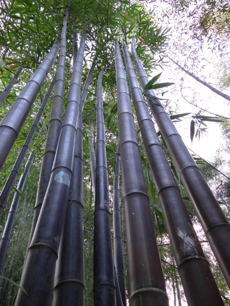 Hojas plantas bambu en mercadolibre bambu planta - Bambu planta exterior ...