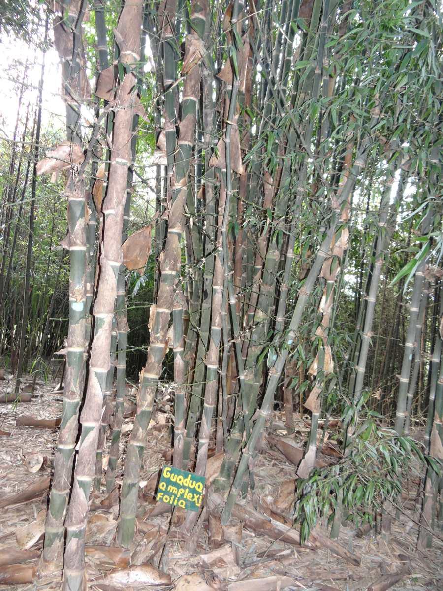 Bambu otate vara y planta para siembra o palapas en mercado libre - Bambu planta exterior ...