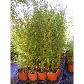 Bambú Planta Tupida Envíos Capital Bs As Puerto Jardín