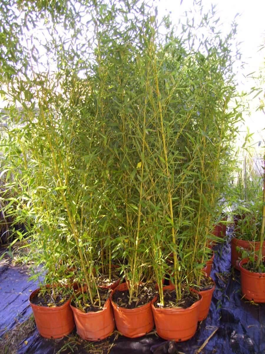Bambu Planta Tupida Envios Capital Y Bs As Puerto Jardin 310 - Jardin-bambu