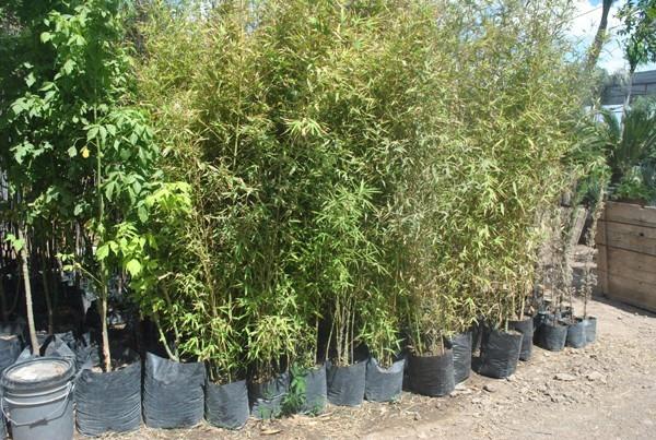 Bambu plumoso bambu dorado en mercado libre - Bambu planta exterior ...