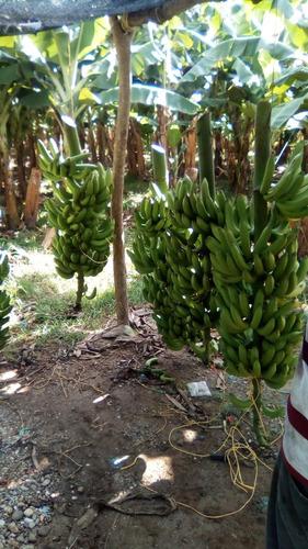 banano cambur venta al mayor a partir de 100 cestas
