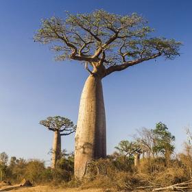 Baobá (adansonia Digitata) Árvore - 3 Metros P/ Retirar