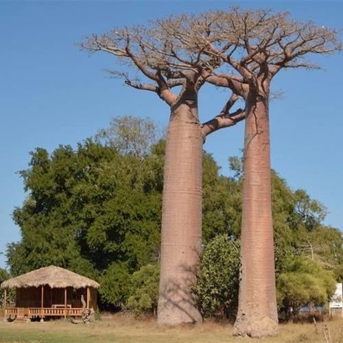 baobá 500 sementes
