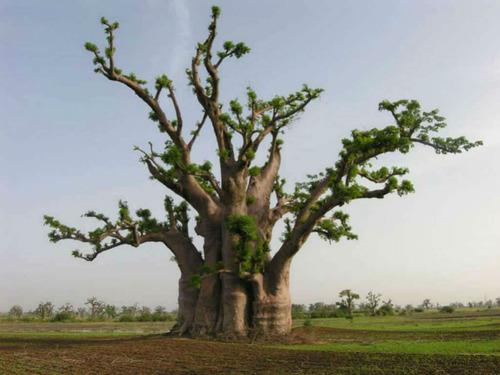 baoba adansonia digitata sementes frescas colhidas no brasil