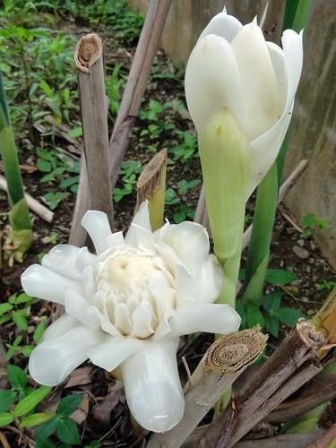 bastão de porcelana branco - etlingera white