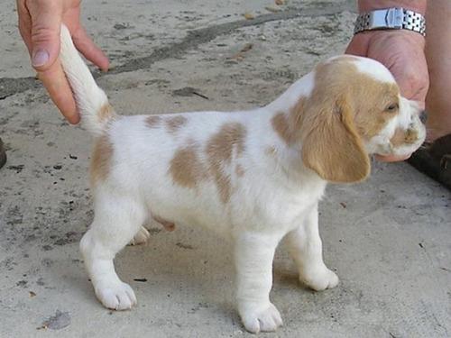 beagle bicolor filhotes lindos, luxo, entregamos todo brasil