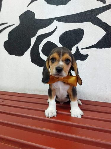 beagle cachorros hermosos lineas importadas