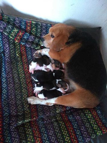 beagle cachorros puros
