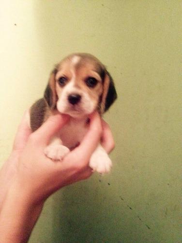 beagle centro canino yo soy tu amigo fiel,paga 2 llévate 3