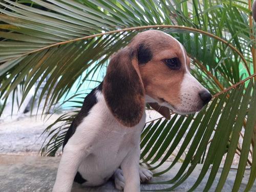 beagle hembra tricolor 2 meses y 13 días vacuna del primer